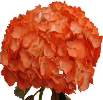 orange dyed hydrangeas perla farms