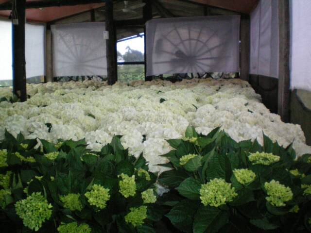 HYDRANGEAS PERLA FARMS