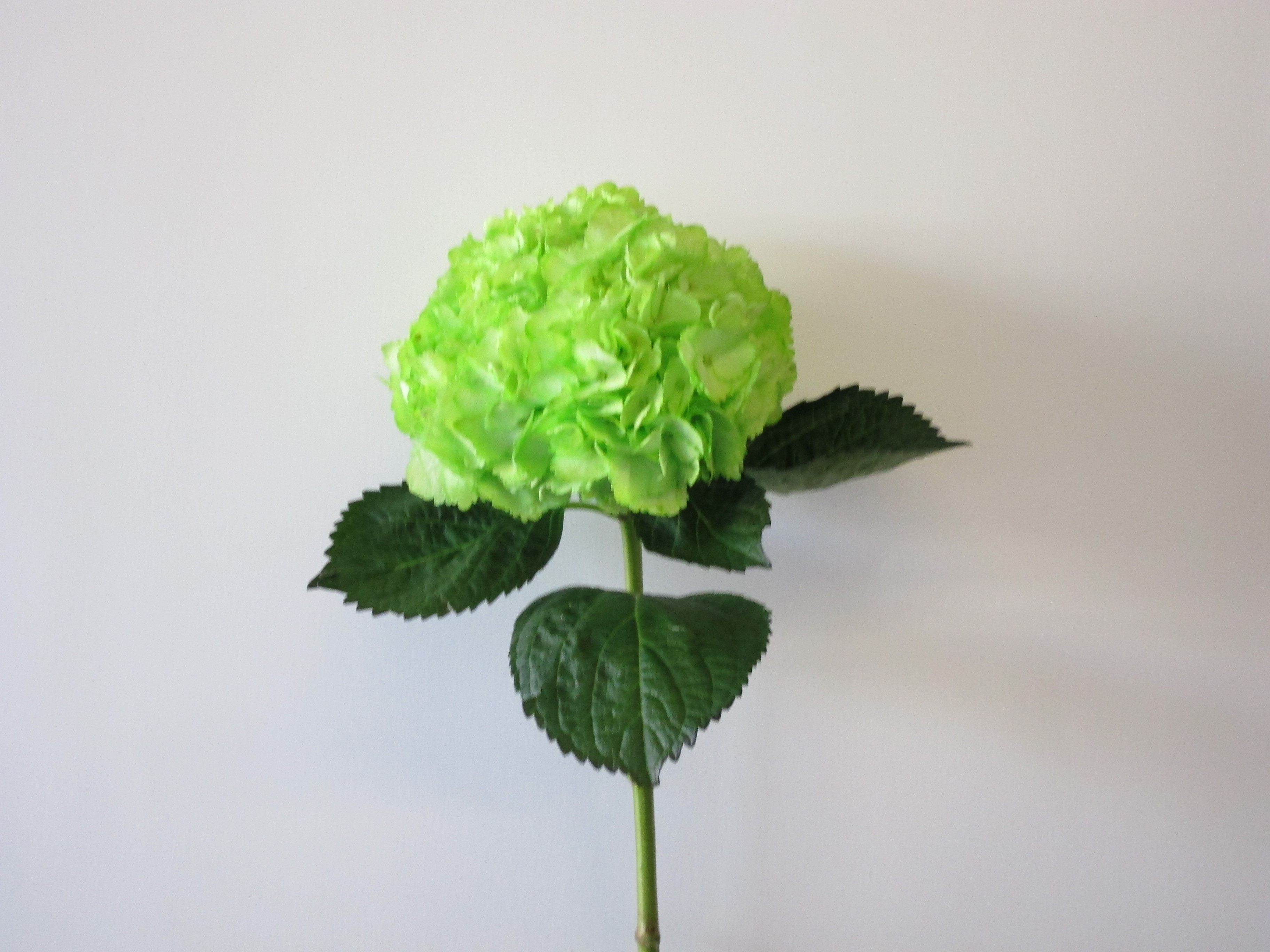 Green Hydrangea Perla Farms
