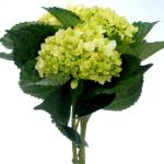 Mini Green Hydrangeas